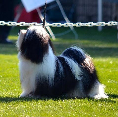 Grand Champion Havanese JT