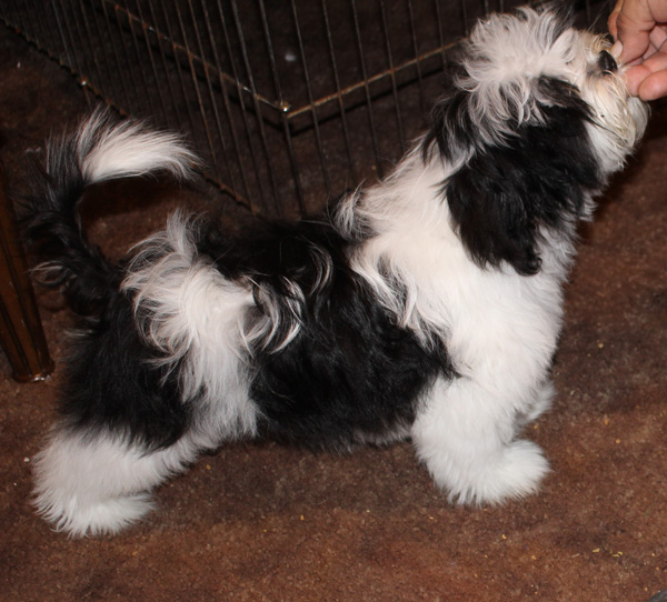 Havanese Female Dora