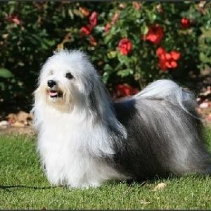 GCH Tamaran Up in Smoke | Havanese