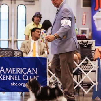 GCH Amor's 24KT the One and Only | Havanese