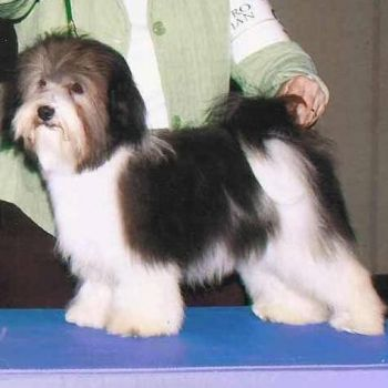 CH Amor Rumor Has It | Havanese