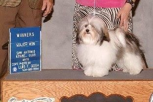 CH Amor's Calico Buttons | Havanese