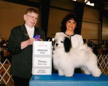 Ch Amor's Cirrus Solei of the Yaya's | Havanese