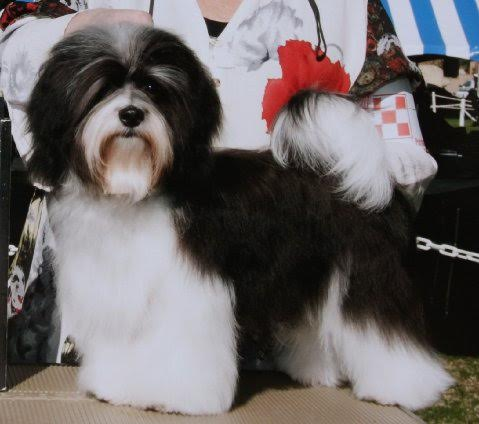 GCH Amor's Travelin Man